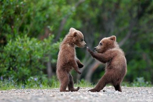 Bear_fight1