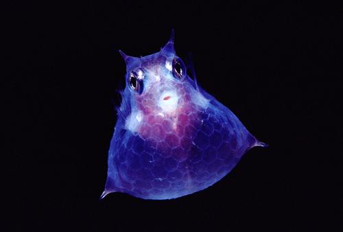 Translucentcowfishnewbert1145302s_2