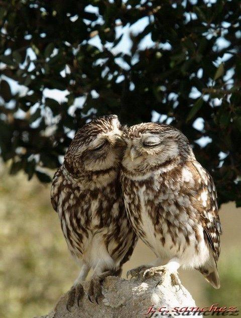 フクロウ kiss