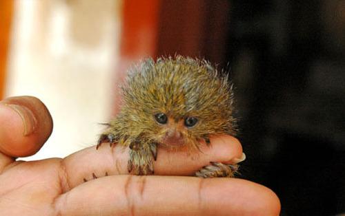 Large_baby_pygmy_marmoset