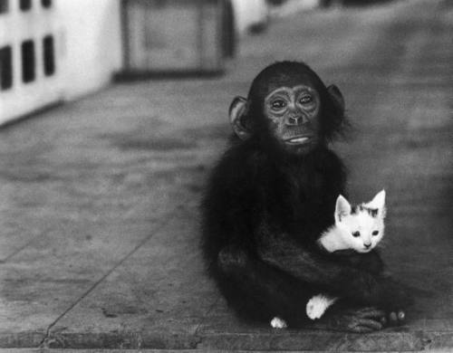 Chimp and/or kitten: 'Can I keep her, Mom?'