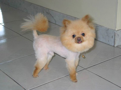 lot of pomeranians are cut in a lion cut