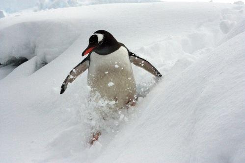 gentoo_penguin.jpg