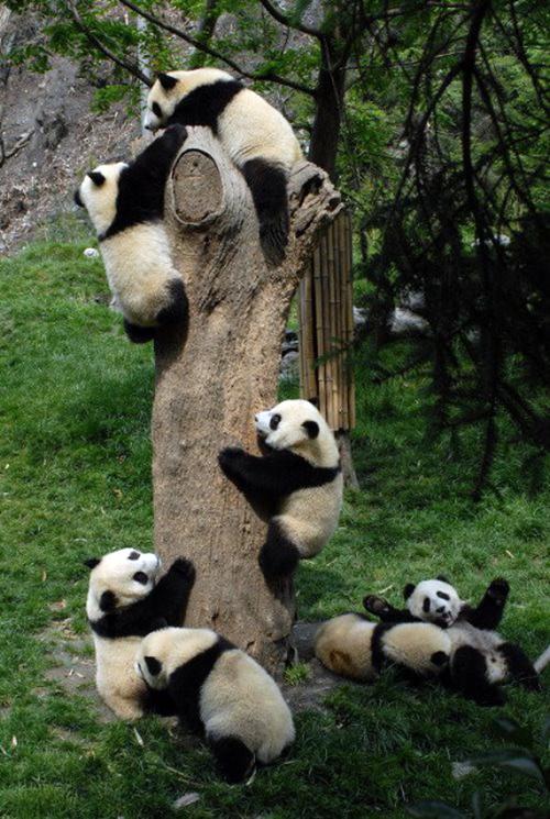 Panda005
