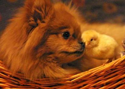 Dog_and_chicken
