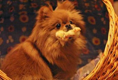 Dog_with_chicken