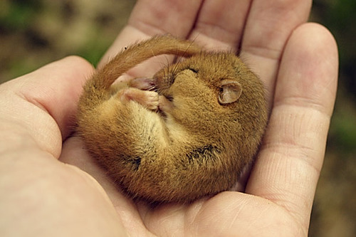 Dormouse_ns1b9479