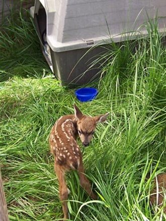 Fawn_in_mobile_pen_051306