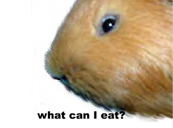 Guinea_pig_song