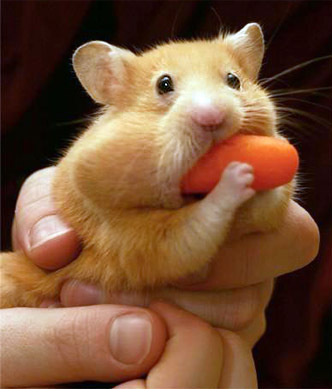 Hungry_hungry_hamster