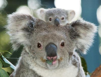 Koala_baby_1
