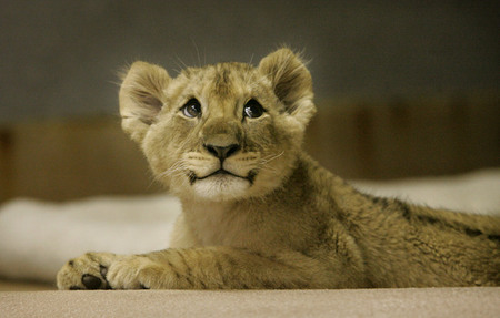 IMAGE(http://mfrost.typepad.com/cute_overload/images/leetle_lion.jpg)