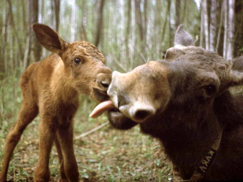 Mama_moose_licking_calf