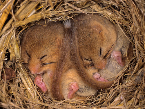 Mhd002sleepingdormice