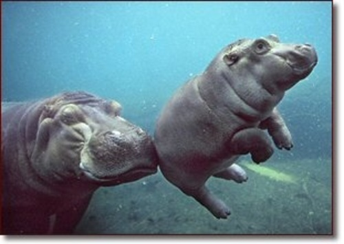 Mom_and_baby_hippo