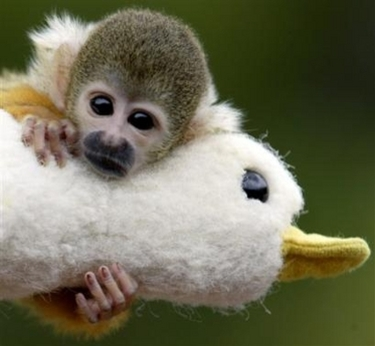 Monkey_and_stuff_duck_2
