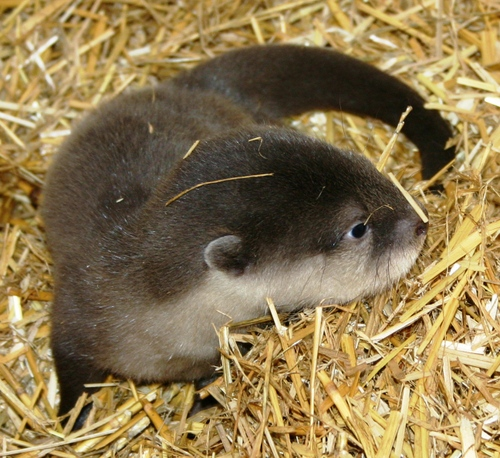 Otter_baby13
