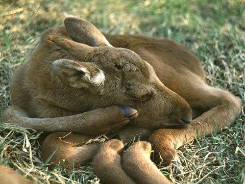 Sleepingmoose