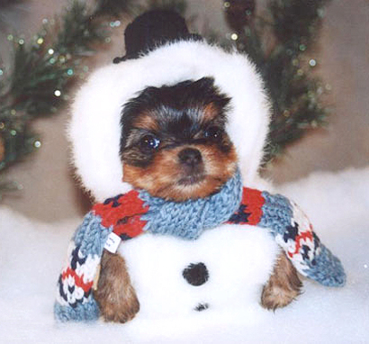 Snowsher_terrier