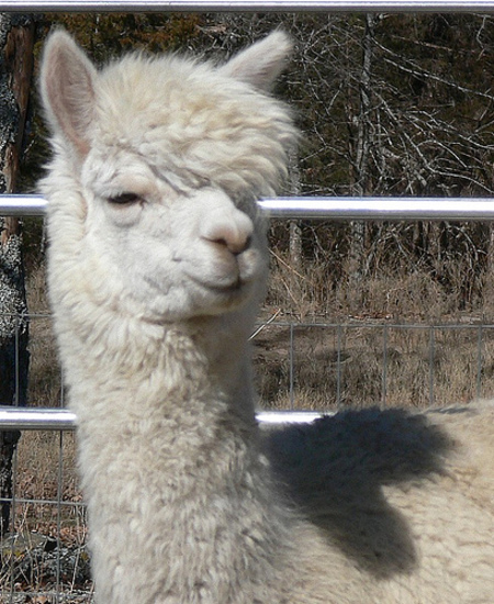 Walnut_creek_alpacas