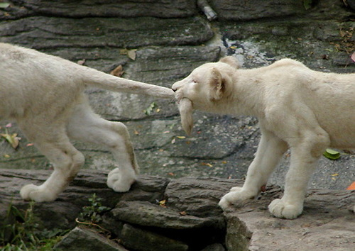 White_lion_cub_pull_tail