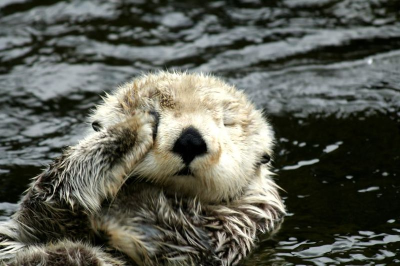 Sleepy Otter from CuteOverload
