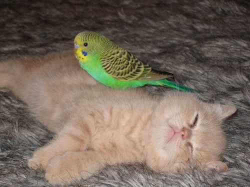 Budgie stands victorious.