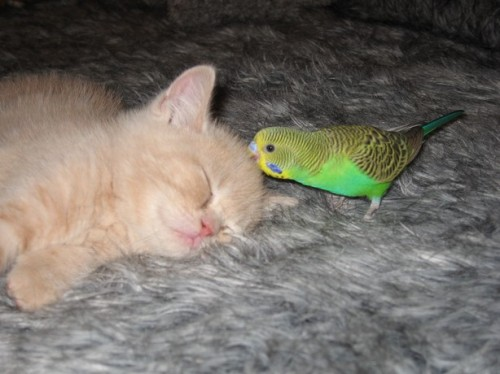 Budgie delivers crushing bite to the back of the skull while leaving brainstem intact (thus preserving autonomic functions).