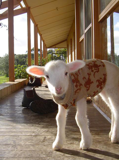 Lamb wearing sweater